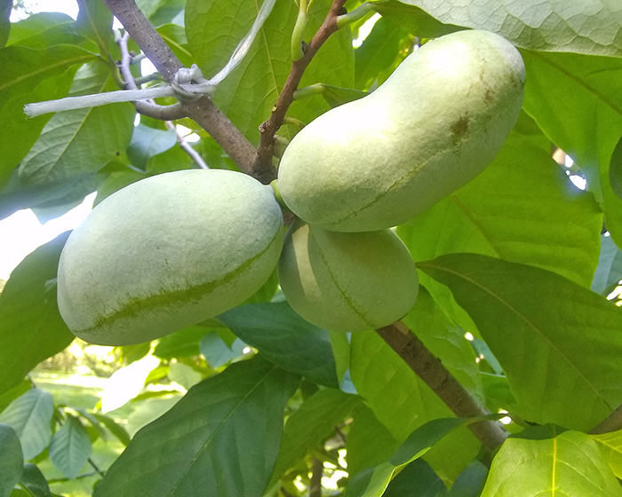 Mid-August pawpaws on the tree. (Tom Houlihan/H-F Chronicle)
